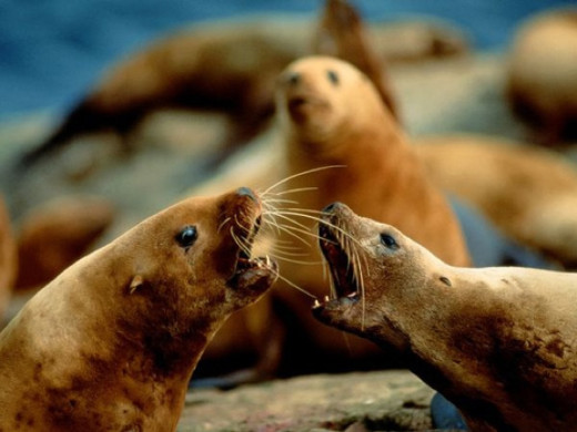 stellar-sea-lions