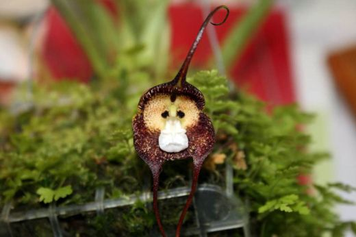 sad-monkey-orchid_s