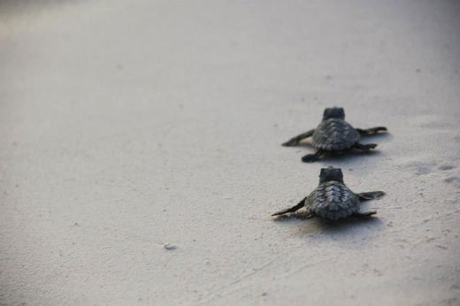 volunteers-help-guide-loggerhead-sea-turtle-hatchlings-to-sea-10_s