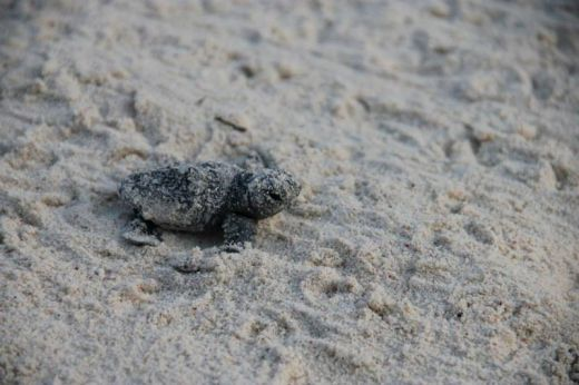 volunteers-help-guide-loggerhead-sea-turtle-hatchlings-to-sea-1_s
