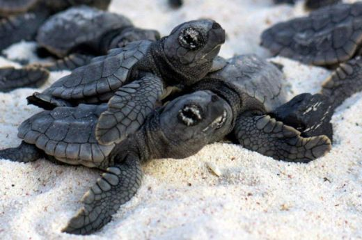 volunteers-help-guide-loggerhead-sea-turtle-hatchlings-to-sea-2_s