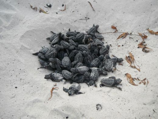 volunteers-help-guide-loggerhead-sea-turtle-hatchlings-to-sea-4_s