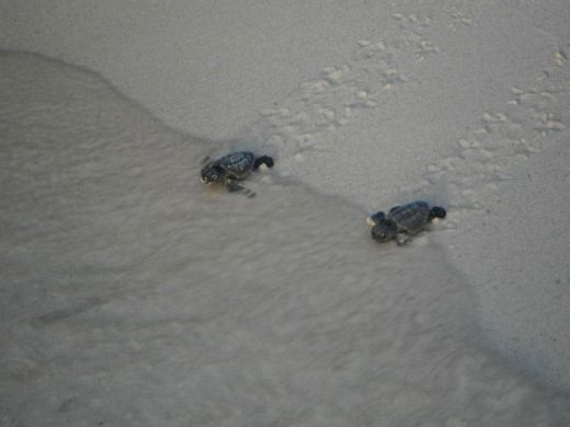 volunteers-help-guide-loggerhead-sea-turtle-hatchlings-to-sea-9_s