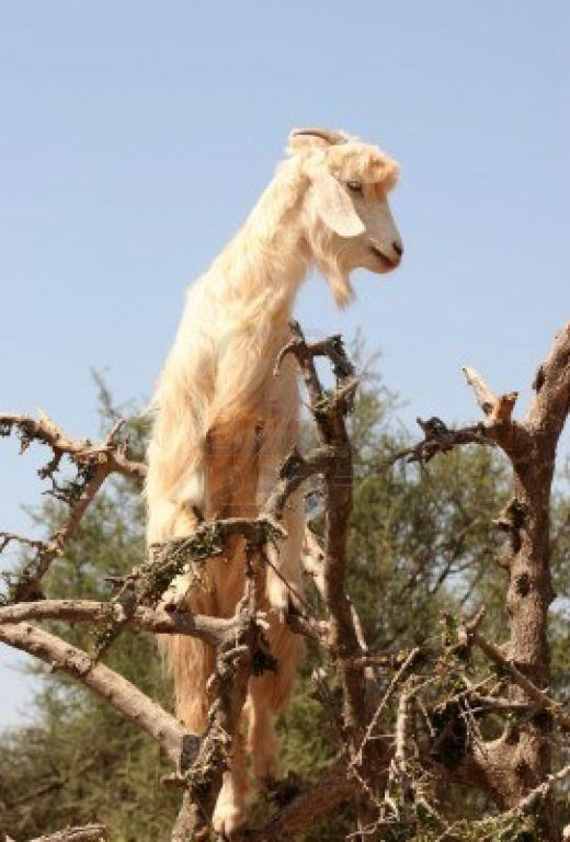 1015131-moroccan-goat-on-the-tree_s