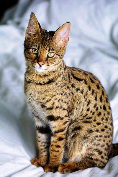 400px-Savannah_Cat_portrait