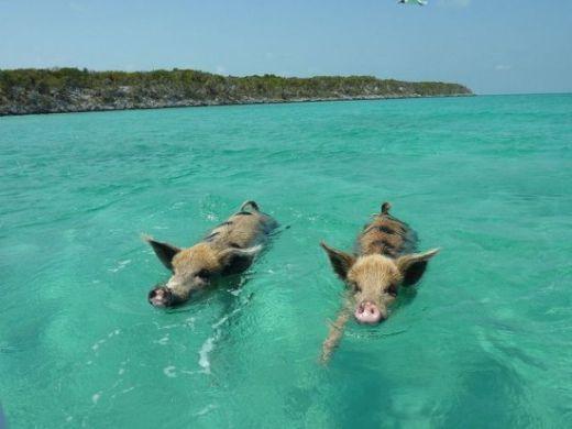 Big-Major-Cay-pigs-550x412_s