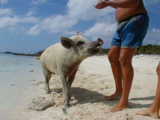 Big-Major-Cay-pigs3-550x412_s