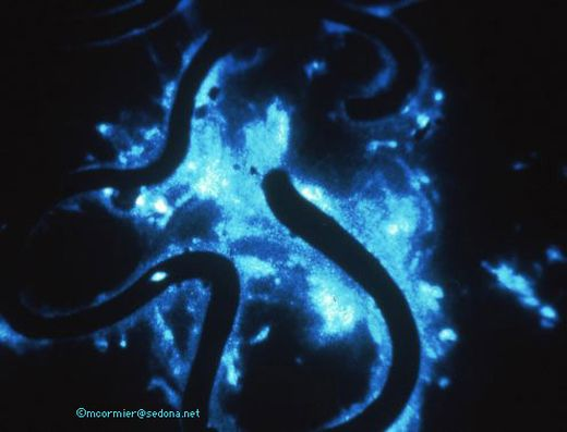 Bioluminescent_Earthworm_s