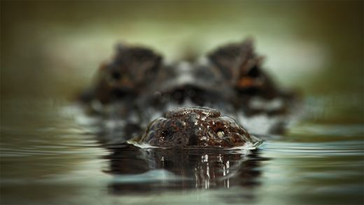 Crocodile-Close-Up-Desktop-Wallpaper_s