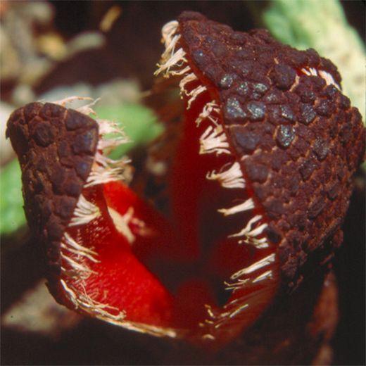 Hydnora Africana_s