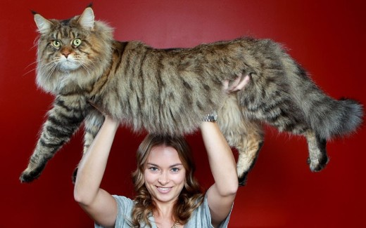 Natalie-Chettle-lifts-her-mothers-Maine-coon-cat-Rupert-over-her-head.-Nearly-three-years-old-Rupert-is-already-three-times-bigger-than-the-average-domestic-cat-and-is-expected-to-gain-anoth