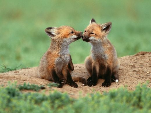 You-re-So-Foxy-national-geographic-6873765-1600-1200_s