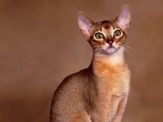 abyssinian-cat-2