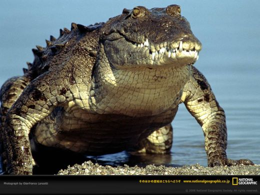 american-crocodile-emerging-water_s