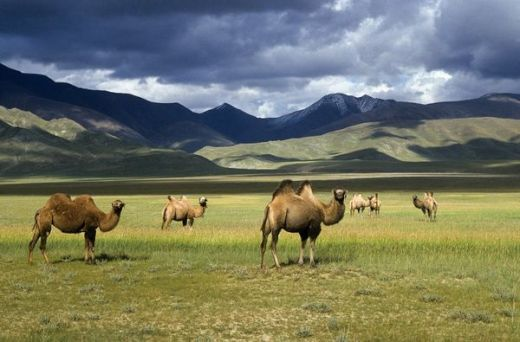 animal-bactrian-camel-camel-gobi-mountains-national-geographic-Favim.com-93201_s