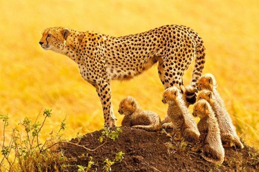 animals-cheeta-and-babes-Kenya-by-Stephen-Oachs-via-nat-geo_s