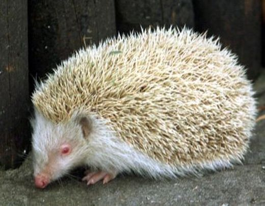 ap_hedgehog_080411_ssh_s