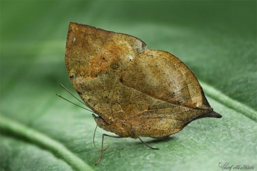 dead_leaf_butterfly_by_alhabshi-d53s941_s