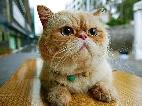 exotic-cat