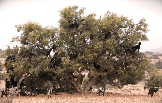 goats in a tree_s