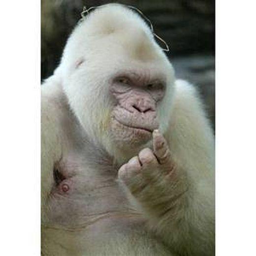 gorilla-thumbnail2_s