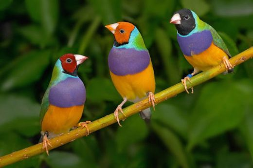 gouldian_finches_s