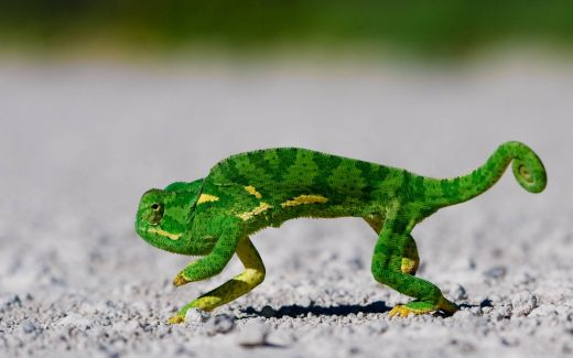 green-chameleon-animal-wallpaper-1920x1200-487_s