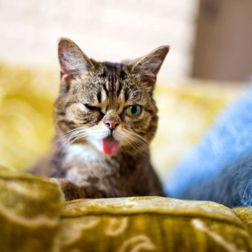 lil-bub-the-cat-sticks-tongue-out-8_s