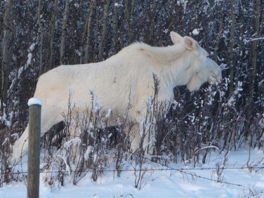 moose-e1375841465634_s