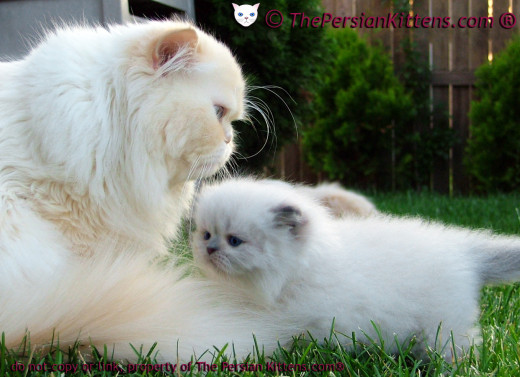persian_cats-Maxi_and_Rocky