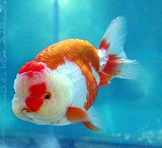ranchu-goldfish_s