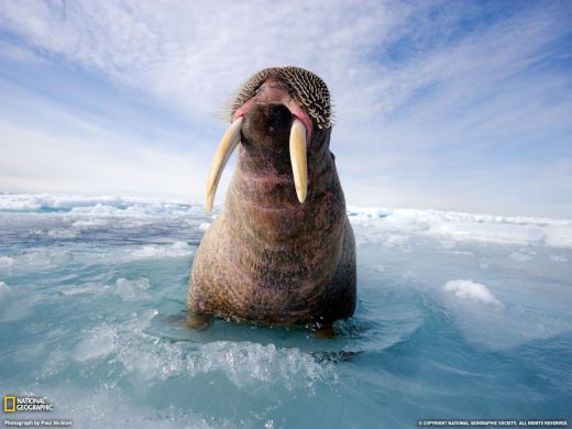 seas-animals-national-geographic-walrus-HD-Wallpapers_s