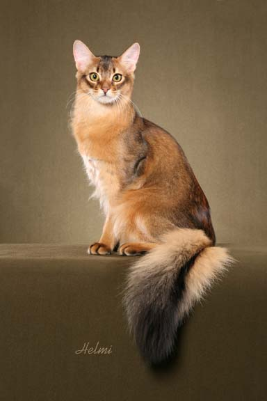 somali-cat-picture-1