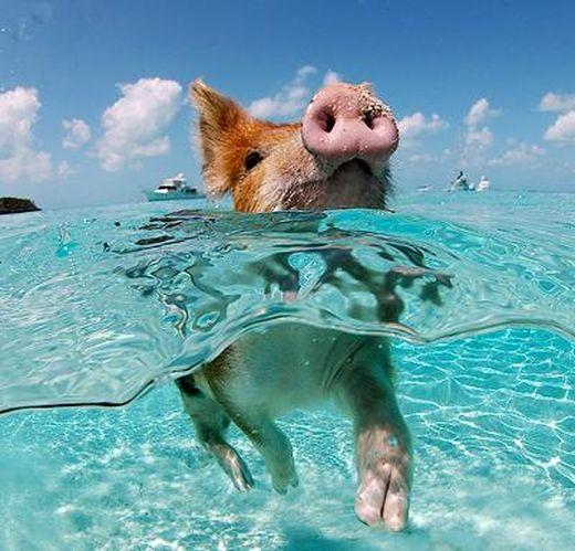 swimming-pig_s