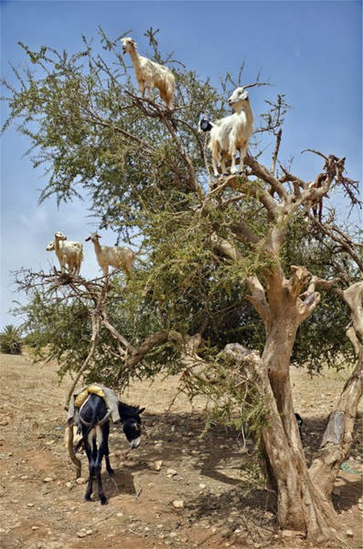 t600-Goats up a tree_s