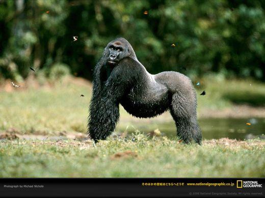 western-lowland-gorilla-posing_s