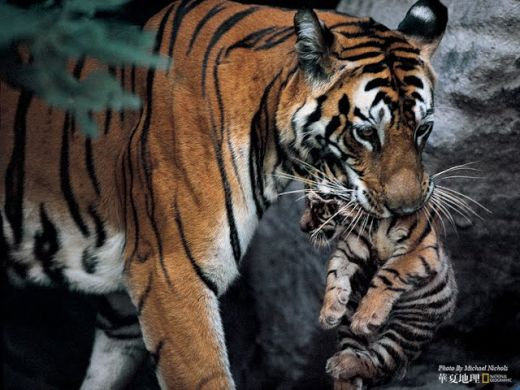 wildlife-national-geographic-best-wild-animal-wllpapers-a-bengal-tiger-totes-her-cub--national-geographic-best-wild-animal-wllpapers-57818_s