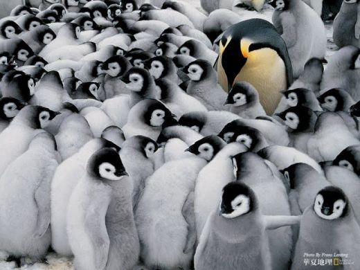 wildlife-national-geographic-best-wild-animal-wllpapers-emperor-penguins-in-antarctica--national-geographic-best-wild-animal-wllpapers-57863_s