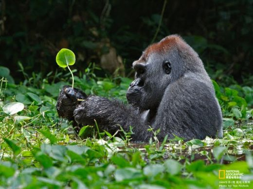 wildlife-national-geographic-best-wild-animal-wllpapers-lowland-gorilla--national-geographic-wild-animal-wllpaper-57820_s
