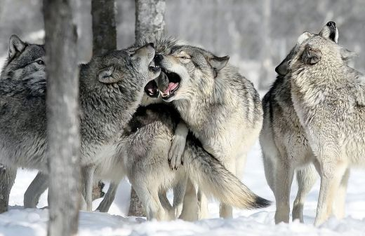 wolfpack_s