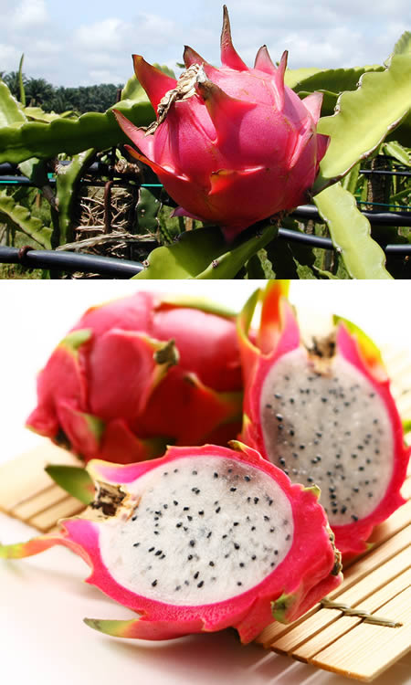 a97133_g089_3-dragonfruit2