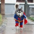 dogs_dressed_as_super_heroes_2_s