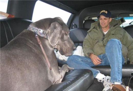 giant_dog_19_s