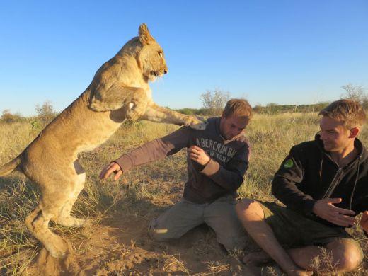 【MODISA】野生のライオンと戯れる自然保護ボランティアの画像集