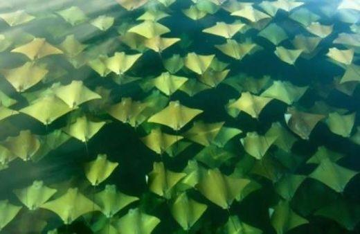アカエイの大群が広がってチェック柄になってる画像集