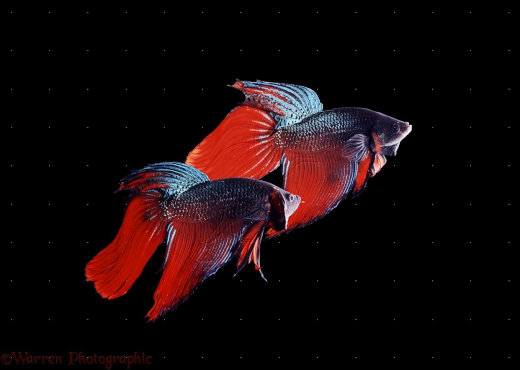 04836-Siamese-fighting-fish[1]