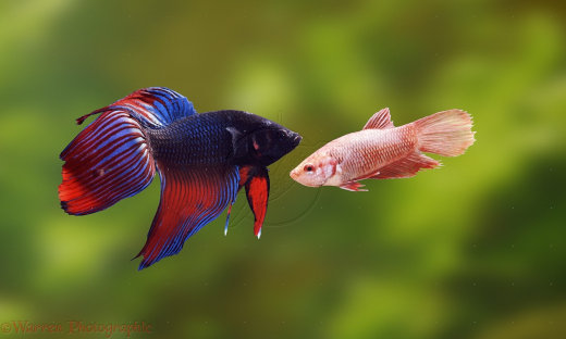 04839-Siamese-fighting-fish[1]