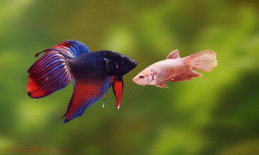 04839-Siamese-fighting-fish[1]