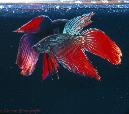 21190-Siamese-Fighting-Fish[1]