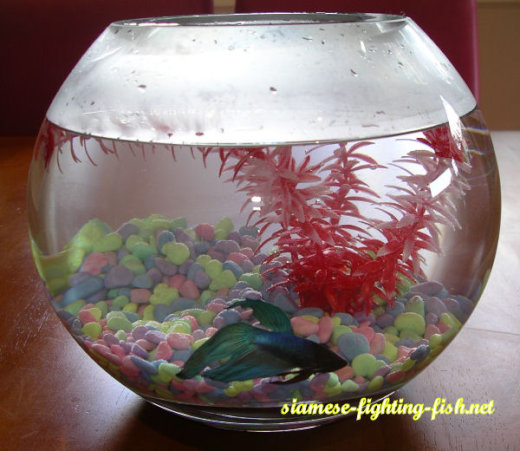 Bubbles-new-Betta-Home[1]